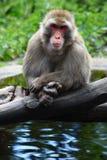 Meditera apan på sjön Royaltyfria Foton