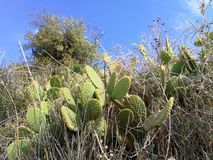 Mediteranian kaktus na wyspy brac, południowy Europe zdjęcia royalty free