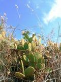 Mediteranian kaktus na wyspy brac, południowy Europe obraz stock