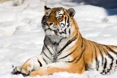 Mediterende tijger op sneeuwachtergrond royalty-vrije stock foto's