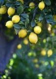 Mediterraan citroenbosje Stock Fotografie