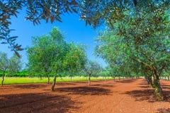 Mediterraan de zomerlandschap Olive Tree Plantation traditie royalty-vrije stock afbeelding