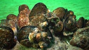 Mediterraan galloprovincialis en schaaldier Balanus SP van mosselmytilus stock videobeelden