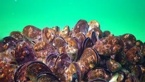 Mediterraan galloprovincialis en schaaldier Balanus SP van mosselmytilus stock video