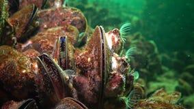Mediterraan galloprovincialis en schaaldier Balanus SP van mosselmytilus stock footage