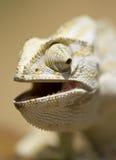 Mediterraan kameleon Stock Afbeelding