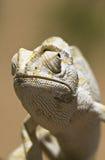 Mediterraan Kameleon - Chamaeleo chamaeleon Stock Afbeeldingen