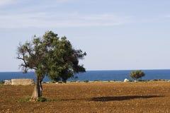 Mediterrane boom. stock afbeelding