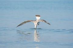 Mediterrane meeuw die tijdens de vlucht voor vissen in het water duiken Royalty-vrije Stock Fotografie