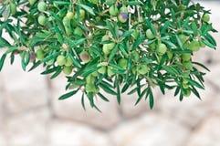 Mediterrane olijfbomen en olijftakken met exemplaarruimte royalty-vrije stock foto