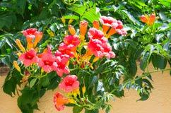 Mediterrane oranje trompetbloem Stock Afbeelding