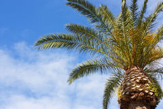 Mediterrane Palm Stock Afbeelding