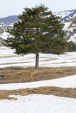 Mediterrane pijnboomboom met bladeren naald In de sneeuw Royalty-vrije Stock Afbeeldingen