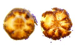 Mediterrane tuberculata van Cotylorhiza van Kwallen Stock Afbeeldingen