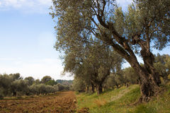 Mediterrane tuin, close-up de tak Stock Afbeelding