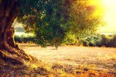 Mediterrane tuin, close-up de tak Aanplanting van olijfbomen bij zonsondergang stock afbeelding