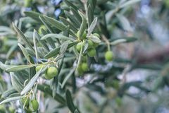 Mediterrane tuin, close-up de tak Olive Grove Royalty-vrije Stock Afbeeldingen
