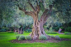 Mediterrane tuin, close-up de tak Olive Grove Royalty-vrije Stock Afbeelding