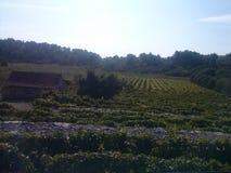 Mediterrane wijngaard Stock Foto's