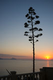 Mediterranean agape. Flowering agave against the background of a Mediterranean sunrise Royalty Free Stock Photos