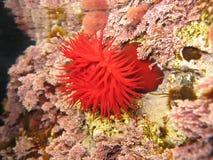 Mediterranean anemone Stock Photography