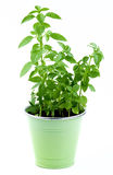 Mediterranean Basil in Pot Stock Photo