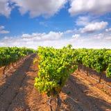 Mediterranean Bobal grapes in vineyard Royalty Free Stock Images