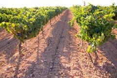 Mediterranean Bobal grapes in vineyard Royalty Free Stock Photo