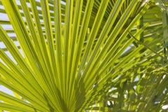 Mediterranean Bush Fan Palm Closeup Royalty Free Stock Photography