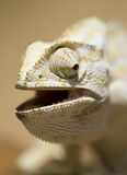 Mediterranean chameleon. A Mediterranean chameleon in close-up Stock Image