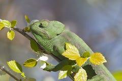 Mediterranean Chameleon Stock Image