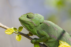 Mediterranean Chameleon Stock Photo