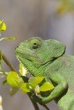 Mediterranean Chameleon Royalty Free Stock Image