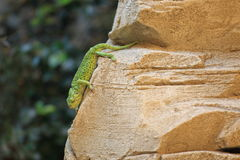 Mediterranean chameleon Royalty Free Stock Images