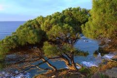 Mediterranean coast pine trees. Pine trees hanging over Mediterranean sea ,Costa del Maresme,Barcelona province,Catalonia,Spain Royalty Free Stock Image