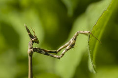 Conehead mantis, Empusa pennata Royalty Free Stock Image