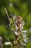 Conehead mantis, Empusa pennata Stock Images