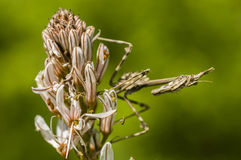 Conehead mantis, Empusa pennata Royalty Free Stock Photos