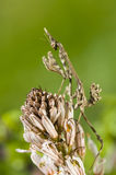 Conehead mantis, Empusa pennata Royalty Free Stock Images