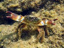 Mediterranean crab Royalty Free Stock Photo