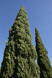 Mediterranean Cypress Stock Photos