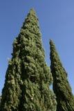 Mediterranean Cypress. Or Italian cypress(Cupressus sempervirens Stock Photos
