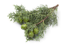 Mediterranean Cypress cones and foliage. Twig of Mediterranean Cypress cones and foliage on white background Stock Photo