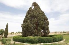 Mediterranean Cypress (Cupressus sempervirens) Royalty Free Stock Photos