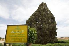 Mediterranean Cypress (Cupressus sempervirens) Royalty Free Stock Image