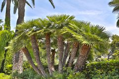 Free Mediterranean Fan Palm, Fan-shaped Leaves And Thick Trunks Stock Photography - 151969332