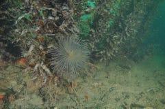 Mediterranean fanworm among brown seaweeds Stock Image