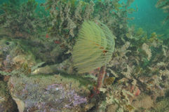 Mediterranean fanworm among brown seaweeds Royalty Free Stock Images