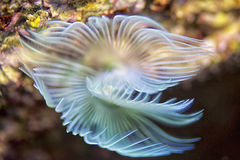 Mediterranean fanworm Royalty Free Stock Photos