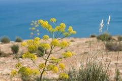 Mediterranean fennel Royalty Free Stock Photos